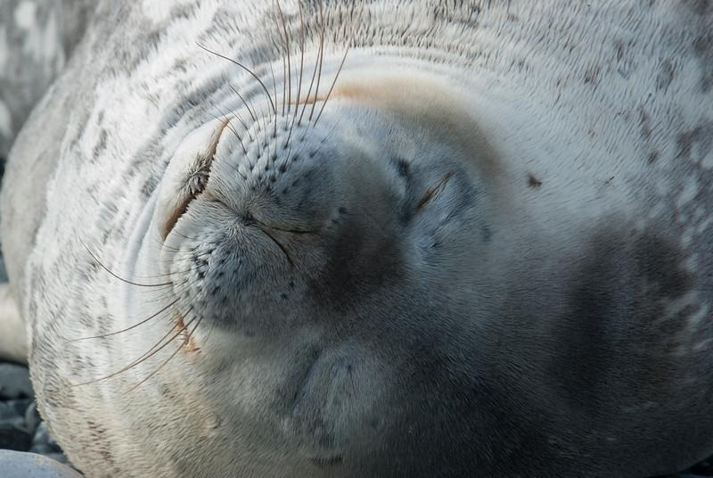 Sleeping Elephant Seal on Half Moon Island, Antarctica