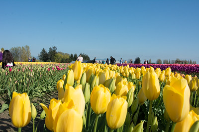 Skagit Valley Tulip Farms