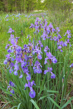 Akron Peninsula Road - Blue Flagged Iris - June 1 2014