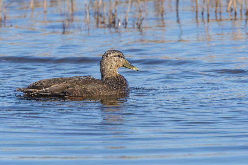 American Black Duck Hen Two.jpg