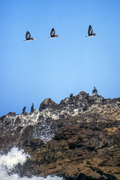 Pelicans - California, USA - August 1995