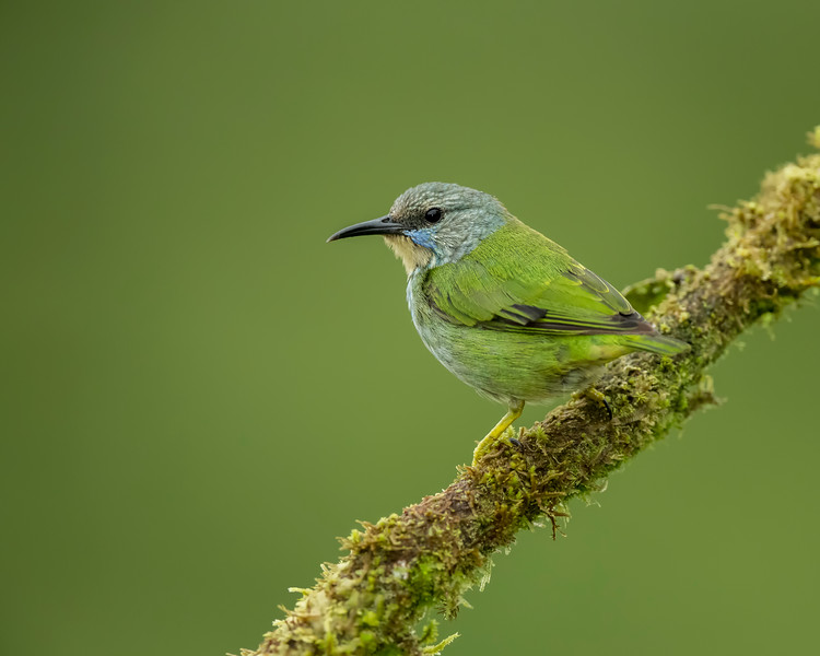Female Shining Honeycreeper
