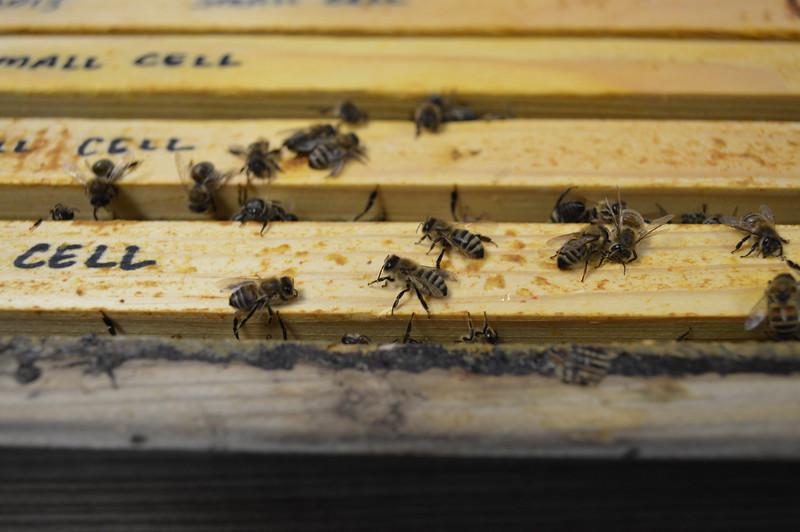 2015-01-30_Hive#3_Dead_Bees_004.JPG