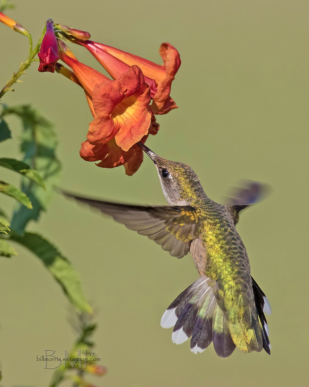 IMAGE: https://photos.smugmug.com/Photos-for-sale/Hummingbirds/i-4VgDZH5/0/7772f687/XL/RT%20hummingbird%209-22-2017-11-XL.jpg