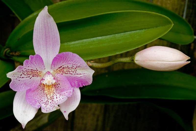 029-Orchid & Bud.JPG