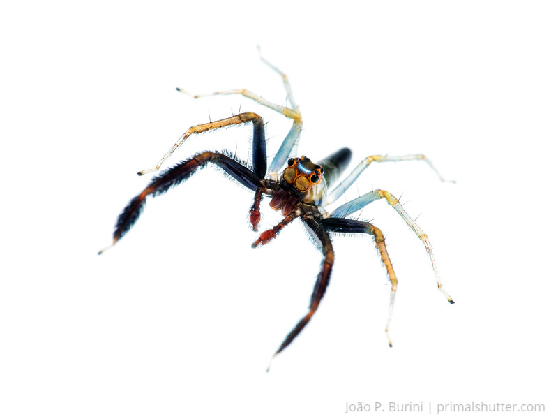 Jumping spider (Salticidae, male Lyssomanes sp.) Tapiraí, São Paulo, Brazil Atlantic forest (rainforest strictu sensu) November 2017