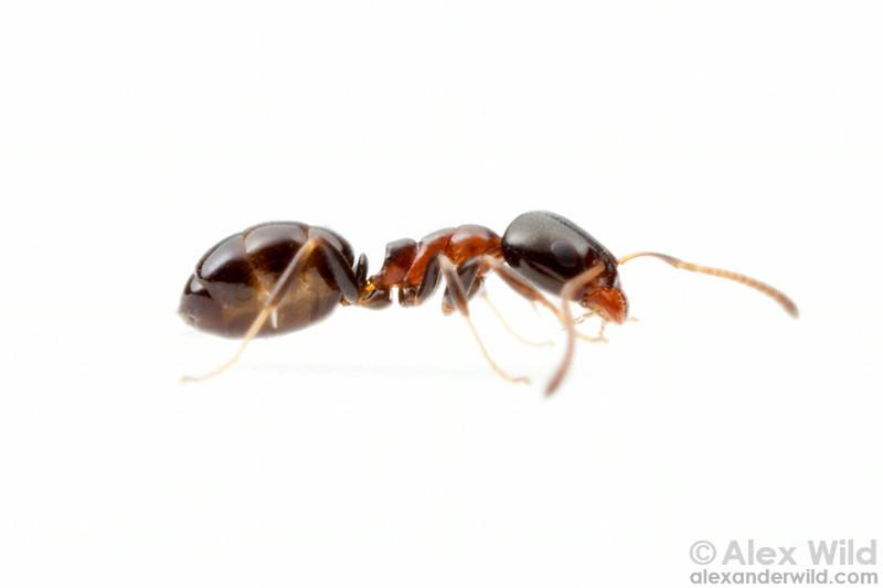 Ochetellus glaber  Orlando, Florida, USA