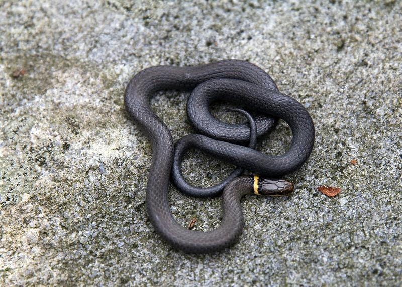 Northern Ringneck Snake (Diadophis punctatus)