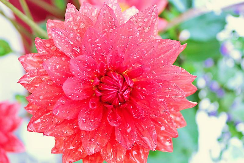 Raindrops On  A Dahlia