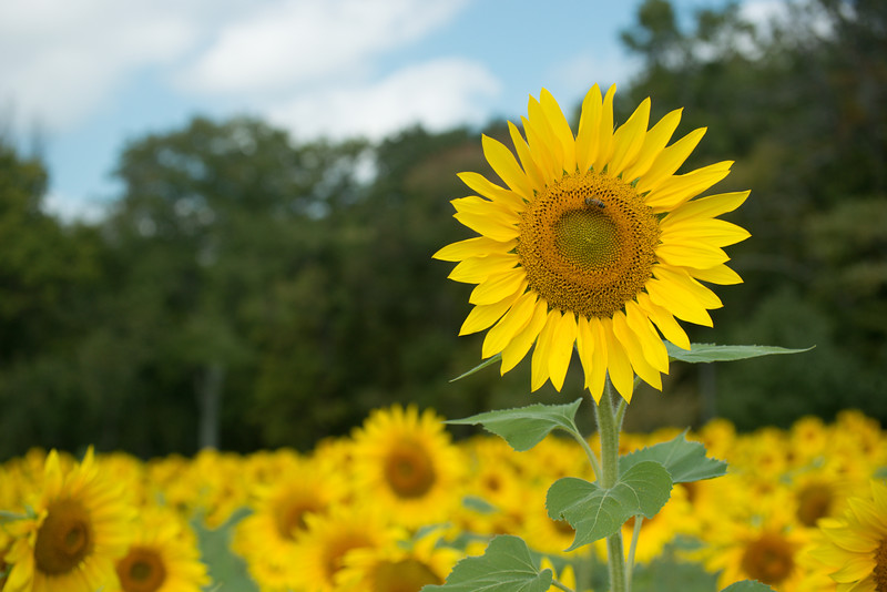 sunflowers14-5503.jpg