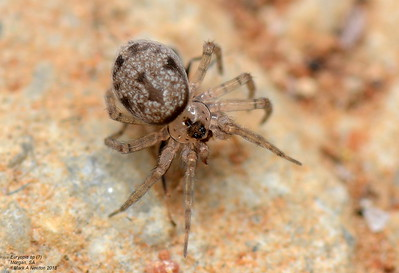Oecobiidae (Midget House Spiders)