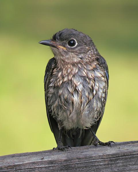 sx50_bluebird_fledgling_092a.jpg
