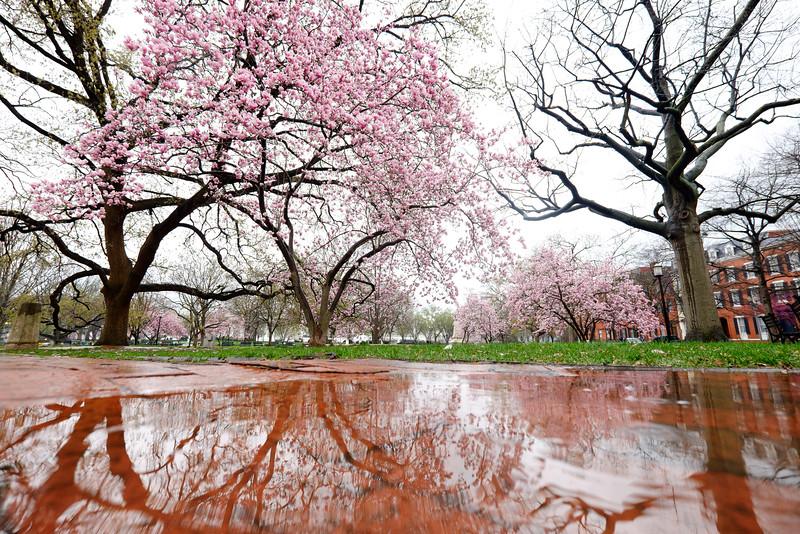 Magnolias in the rain at Lafayette Park