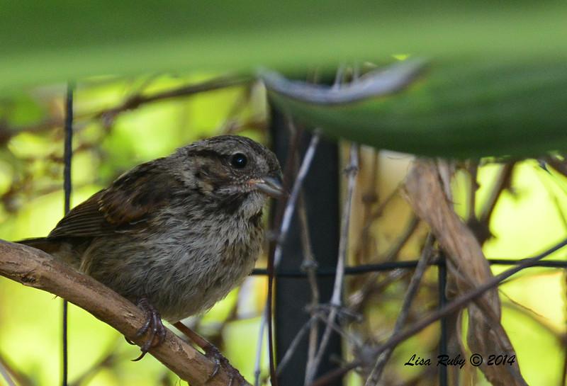 Juvenile Song Sparrow - 6/24/2014 - Backyard Sabre Springs
