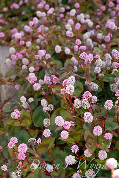 Persicaria capitata ground cover_1403.jpg