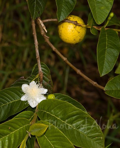 Myrtaceae Family, Strawberry guava Guava Psidium Guajava
