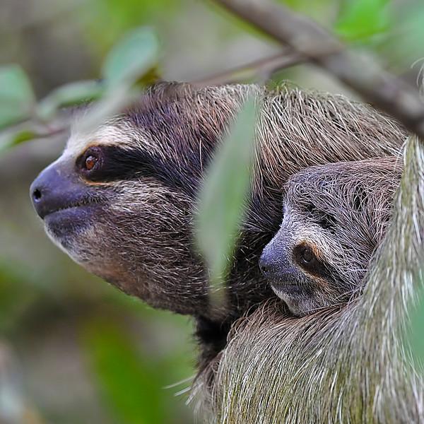 Sloth faces.jpg
