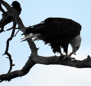 2011 (Jan) Des Moines Eagles