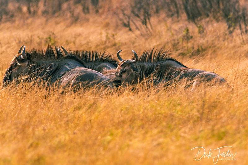 Wilderbeest