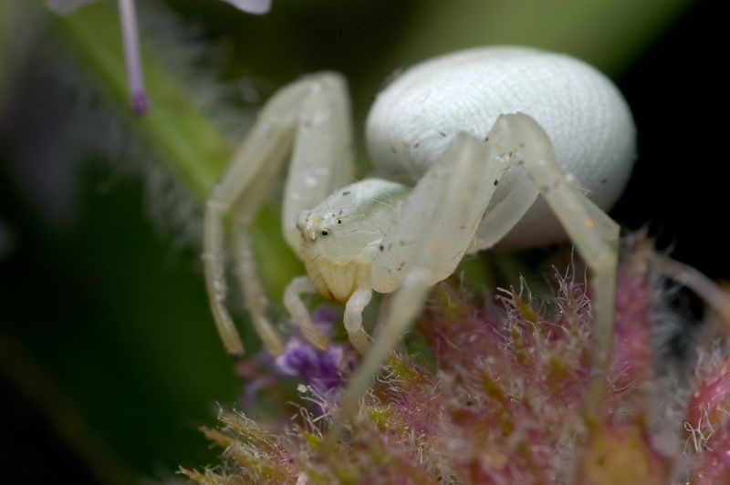 Crab Spider is on some Wild Mint.