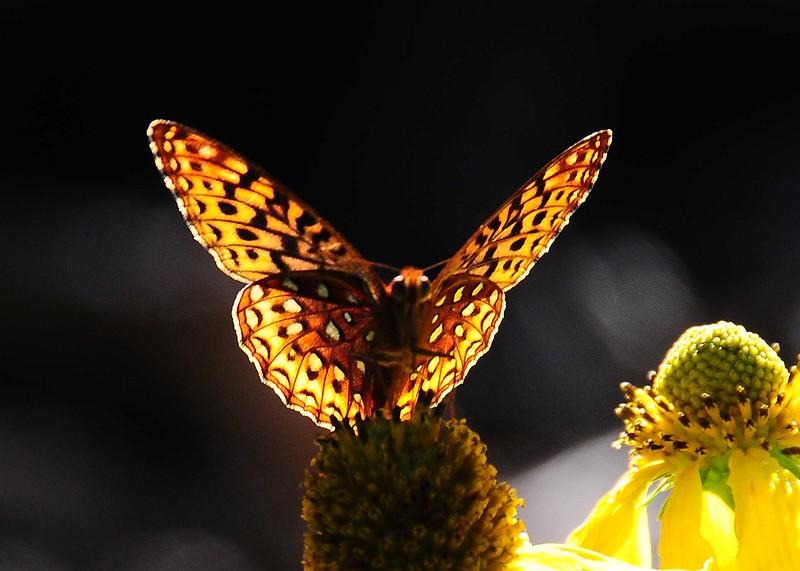 NEA_5665-7x5-Butterfly back lit.jpg