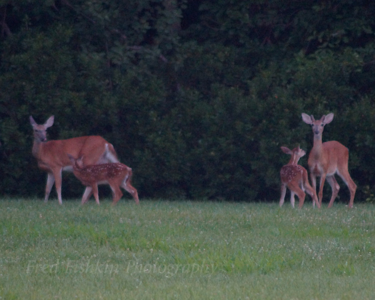 Deer and Fawn.jpg