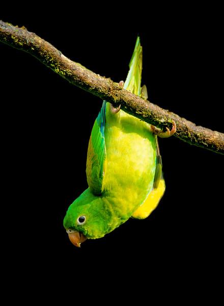 Range-chinned Parakeet
