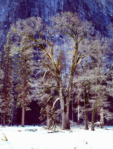 Yosemite - Bare Tree in Winter-02.jpg