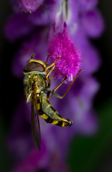 Lavender Hoverfly.JPG