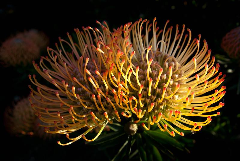 Lecuospermum cordifolium