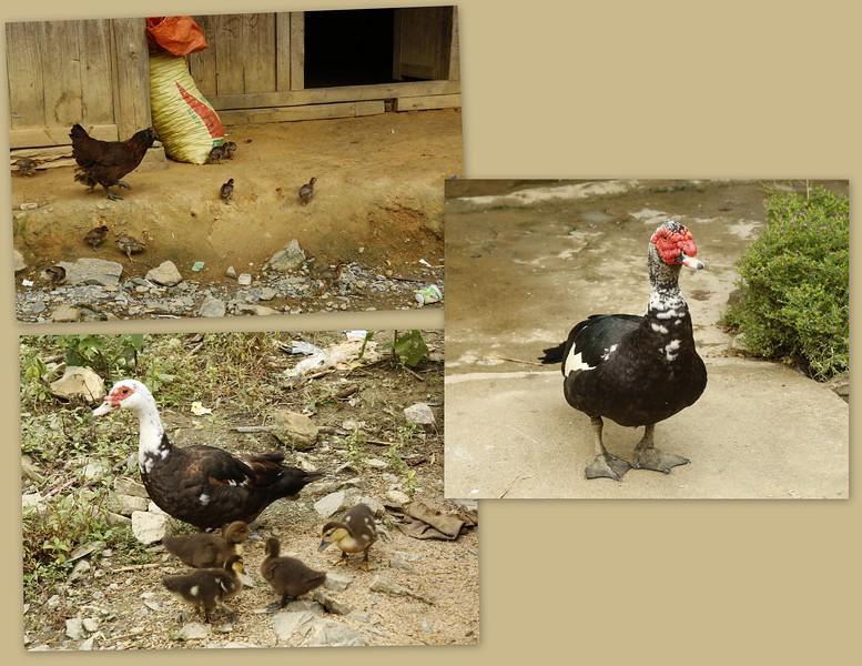 Free Range Chickens & Ducks....