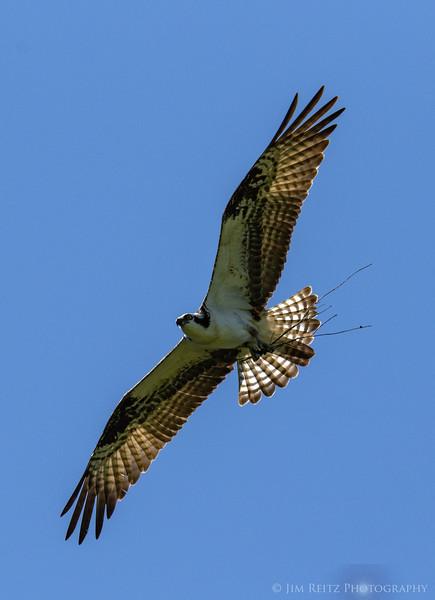 Osprey - Bainbridge Island, WA