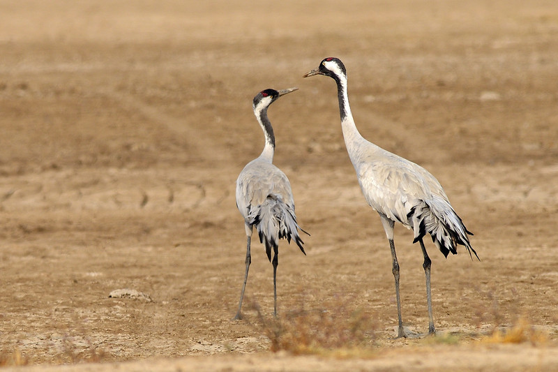 Common-Cranes-elder-and-juvenile.jpg