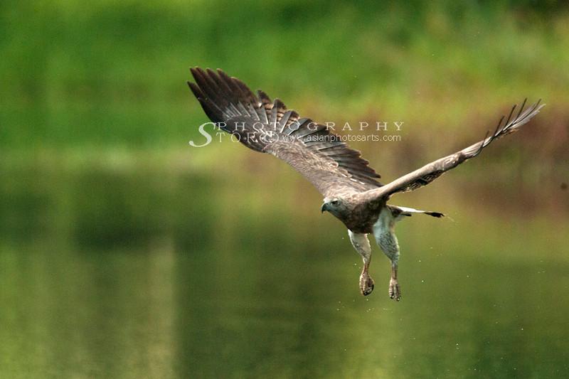 Grey Headed Fish Eagle