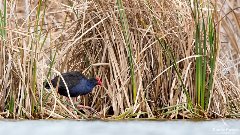 58-Purple-Swamphen-Jawbone,VIC-10914.jpg