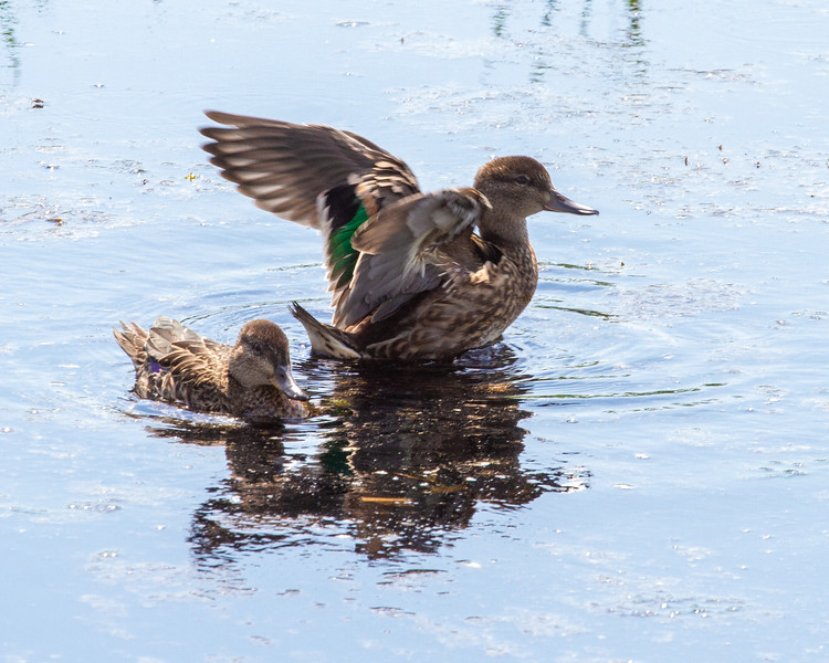 Green-winged Teal juveniles young old railroad grade ATV Trail Toivola Swamp Sax-Zim Bog MN -8787.jpg