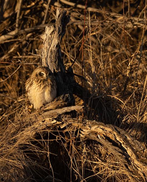 Short-eared Owl Stone Lake Road Sax-Zim Bog MN IMGC3845.jpg