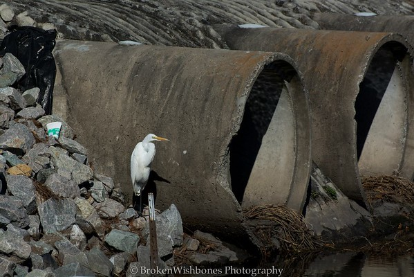 2015_The Great Egret