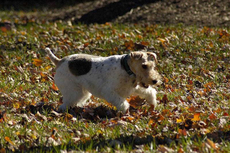 Doodle (Portraits of a Terrier)