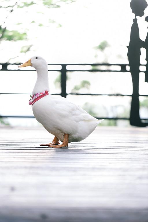 《寵物寫真》網美IAM鴨 / 鴨子米克斯台中