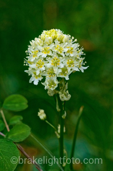 Meadow Death Camas - Zygadenus venenosus