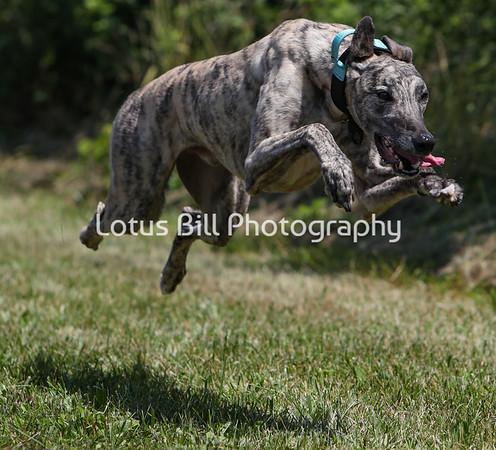 Brindle Greyhound SR