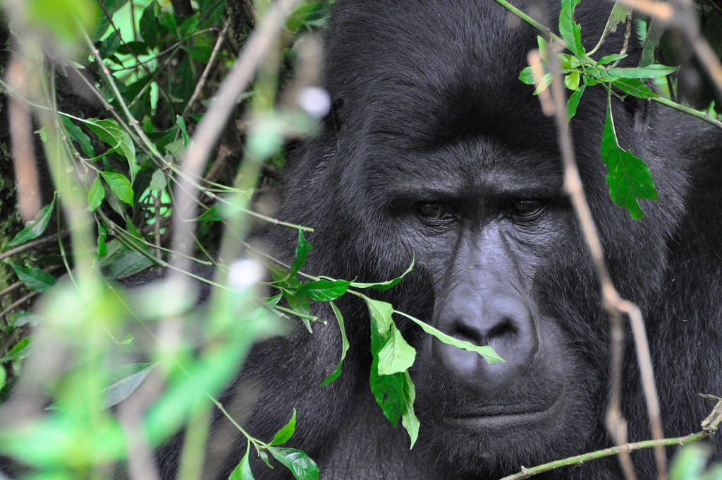 Mountain gorillas in the wild - Gorilla safari in Africa