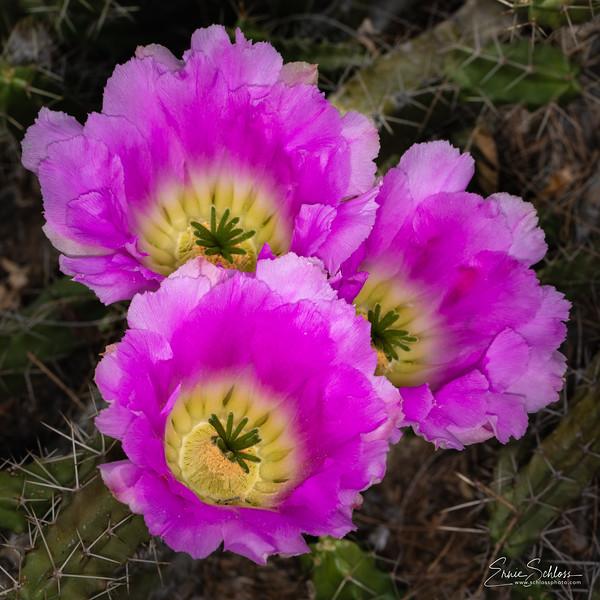 Botanical Garden Cactus Flowers 4-30-2019c-2785.jpg