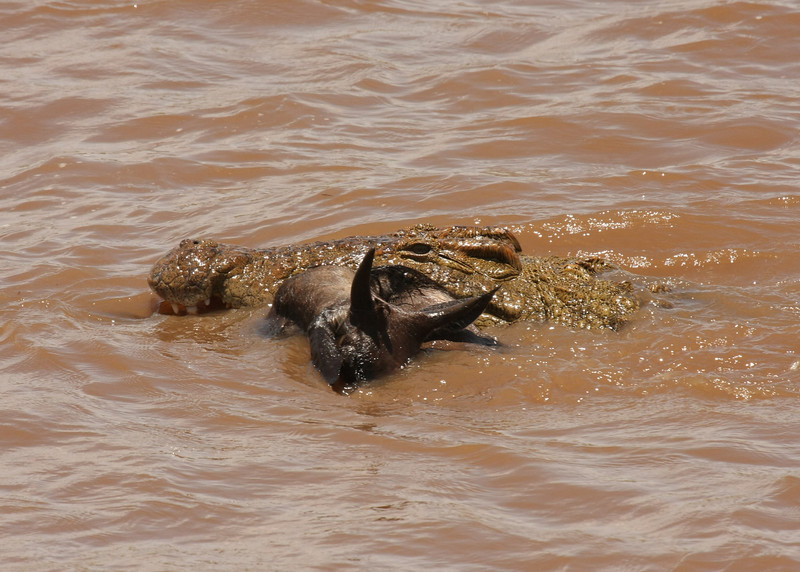 This crocodile has in its grasp a baby wildebeest who tried to cross the river.