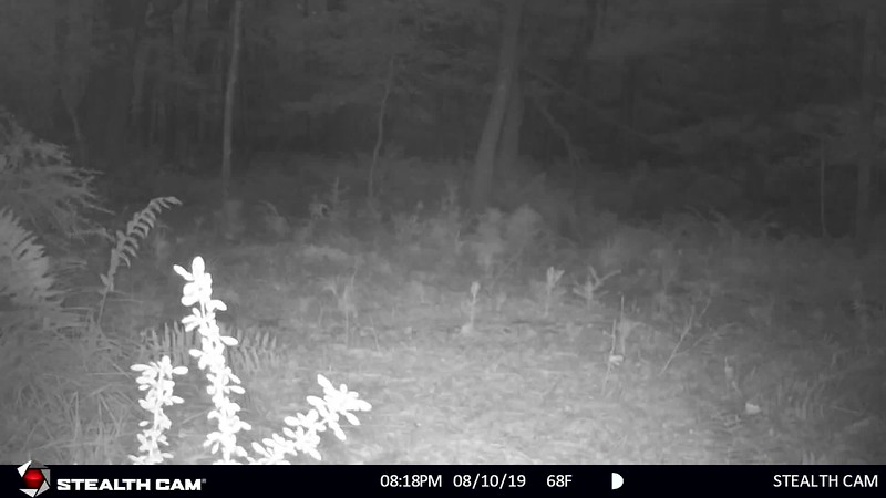 7-12-19 through 8-16-19....Long Spike Buck, Eight Point Buck, many other deer, racoons, coyote with thin tail