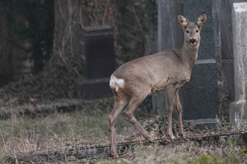 """Wild Life in Vienna 2013-03-14  This is a shot of a wild Roe Deer in Vienna's central cemetery.  The cemetery is large 2.5 square km (one square mile) and has many wild animals.  A shot of the buck is here: http://www.jerrybarton.eu/gallery/7986304_r9xtwT#!i=2407584704&k=qfvFLMc&lb=1&s=A   These small deer are common throughout Europe, and in German are not called 'deer' ('Hirsch') but rather 'Reh'.  Especially here in the """"old Jewish section"""", it is quiet and overgrown.  This section had become full even before the second world war, and extensive damage was done to it during the war - from the Nazis and from bombs and from Soviet troops.  And of course for many graves, there were no remaining families to take care of the sites.  Since 1991 a volunteer organization has started to repair and maintain the damaged memorials.  Thanks for the comments on the basking turtles.  Because of released turtles like these, the common mid-European swamp turtle is struggling."""