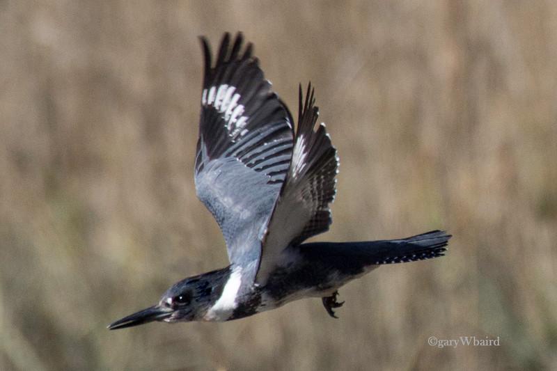 Kingfisher Flight.jpg