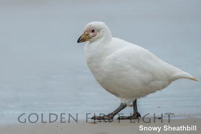 Snowy Sheathbill, Saunders Island, Falkland Islands