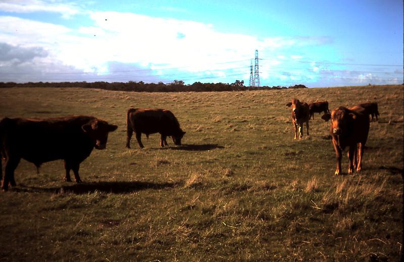 1977-5 (3) Young Braham Bulls & old Angus bulls.JPG